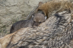 Nap time for timber wolf mother and pup. Timber wolf and pup napping at den Royalty Free Stock Photography