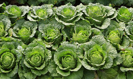 Napa Cabbage Stock Photography