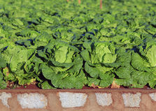 Napa cabbage. In the field royalty free stock image