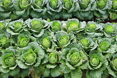Napa cabbage. In the field royalty free stock photos