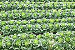 Napa cabbage. In the field stock photography
