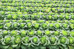 Napa cabbage. In the field royalty free stock photo