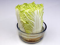 Napa Cabbage Growing in a Bowl of Water. One head of Napa cabbage growing in a transparent bowl of water upright on a white quartz kitchen countertop close-up Stock Image