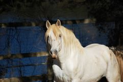 Napa County Lusitano Stallion In Paddock royalty free stock photography