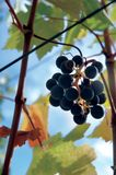 Napa grapes. Grapes in napa valley with leafy background royalty free stock image