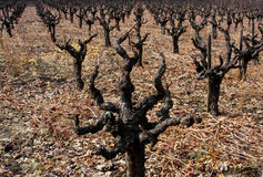 Napa Skeletons. Rows of pruned grape vines, extending into the distance Stock Photos