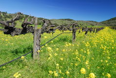 Napa in Spring. Napa vineyard , California in spring Royalty Free Stock Images
