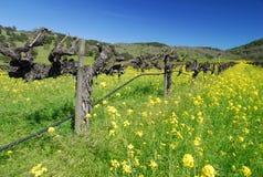 Napa in Spring. Napa vineyard , California in spring royalty free stock images