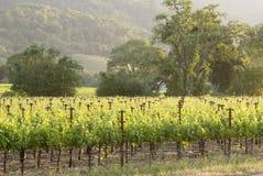 Napa sunset. Napa vineyard , California at sunset royalty free stock photo