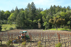 Worker cultivates soil in vineyard by tractor with disc narrows in Napa Valley, California Stock Image