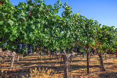 Napa Valley California Royalty Free Stock Photo