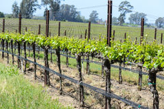 Napa Valley California Vineyard Royalty Free Stock Images