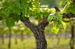Napa Valley Grape Vine closeup in Spring Royalty Free Stock Photography