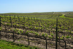 Napa Valley Grape Vineyard Royalty Free Stock Photos