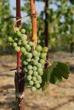 Napa valley grapes Royalty Free Stock Photography