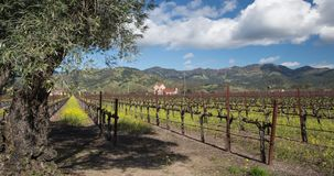 Napa Valley Grapevines stock footage