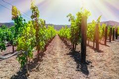 Napa Valley in June - California - USA Royalty Free Stock Photography