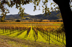 Napa Valley Kalifornien Autumn Vineyards royaltyfri bild