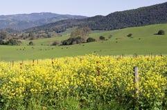 Napa Valley mustard. Pastoral scene in the Napa Valley California Stock Image