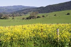 Napa Valley mustard stock image
