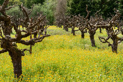 Old grape vines in a field of Mustard Royalty Free Stock Photo