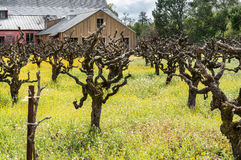 Old grape vines in a field of Mustard Royalty Free Stock Photos
