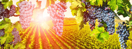 Napa Valley panorama. Branch of grapes ready for harvest. Picturesque aerial view of vineyard at sunset in Napa Valley, San Francisco Bay, California. Red grapes Stock Photography