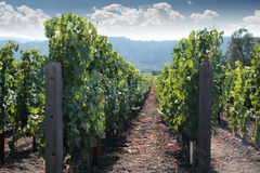 Napa Valley Rows and Vineyard Stock Images