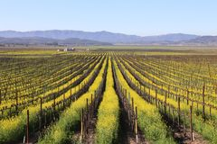 Napa Valley Spring Mustard View Stock Image