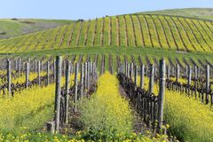 Napa Valley Spring Mustard View Royalty Free Stock Images