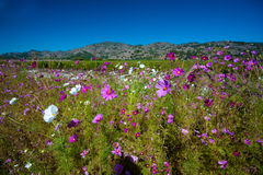 Napa Valley vildblommor - Napa Valley, Kalifornien Royaltyfria Foton