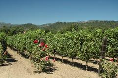 Napa Valley Vineyard. Vineyard in Napa Valley, California, on a hot summer day royalty free stock photography