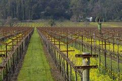 Napa Valley Vineyard. Mustard brings color to the Napa Valley vineyards Stock Photo