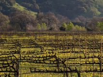 Napa Valley Vineyard. Mustard blooming in the Napa Valley vineyards Stock Photography
