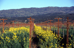 Napa Valley Vineyard. During mustard flower time. There is a huge and internationally known festival called the Napa Valley Mustard Festival stock photography