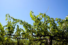 Napa Valley vineyard Stock Images