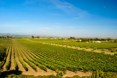 Napa Valley Vineyard. Photograph of a vineyard located in Napa Valley.  View down the agricultural rows apears to converge in the distance Royalty Free Stock Photography