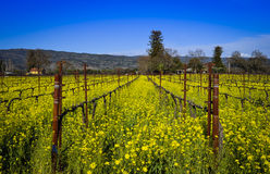 Napa Valley Vineyard Royalty Free Stock Photography