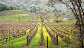 Napa Valley Vineyard Royalty Free Stock Image
