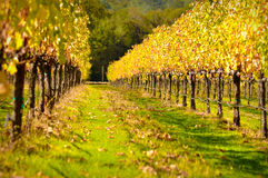 Napa Valley Vineyard in Autumn Royalty Free Stock Image