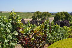 Napa Valley vineyard, California Royalty Free Stock Image
