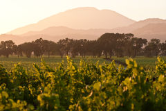 Napa valley vineyard at dusk. Napa vineyard at sunset with oak trees and mountain range in background Stock Images