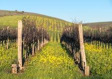 Napa Valley vineyard mustard. Mustard grows wild in Napa Valley vineyards Stock Photo