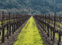 Napa Valley vineyard. Vineyard in the Napa Valley after pruning royalty free stock photos
