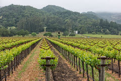 Napa Valley vineyard rows. Morning fog lifting in Napa Valley, California Stock Photos