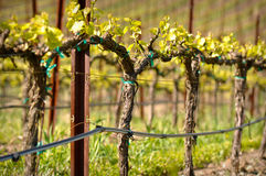 Napa Valley Vineyard in Spring Stock Images