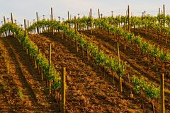Napa Valley vineyard at sunset. In California Royalty Free Stock Photo