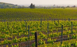 Napa Valley vineyard at sunset stock photo