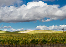 Napa Valley vineyard with white puffy clouds Stock Photos