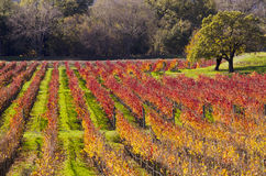 Napa Valley Vineyards in Autumn Colors. The Vineyards of Napa Valley have turned golden and red in the autumn colors Royalty Free Stock Images